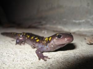 mr-salamander