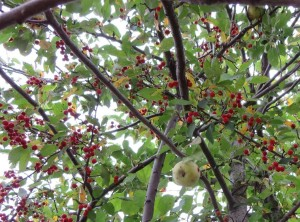Two-Fruit Tree