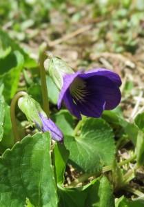 first violet 2014